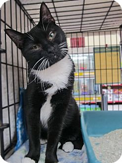 Domestic Shorthair Cat for adoption in Riverhead, New York - Scats