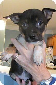 Pug/Chihuahua Mix Puppy for adoption in Lincolnton, North Carolina - Short Stuff