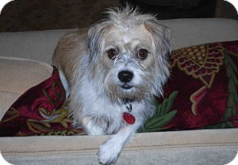 Terrier (Unknown Type, Small) Mix Dog for adoption in Loudonville, New York - Buddy (Nov. '12)