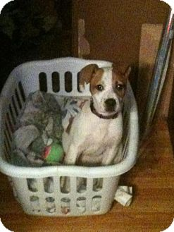 Boxer Mix Puppy for adoption in Hancock, Michigan - Baby Milo