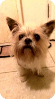 Brussels Griffon Dog for adoption in Thousand Oaks, California - Truffles