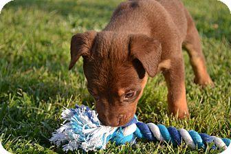 Hound (Unknown Type)/Shepherd (Unknown Type) Mix Puppy for adoption in Smithfield, North Carolina - Roxy