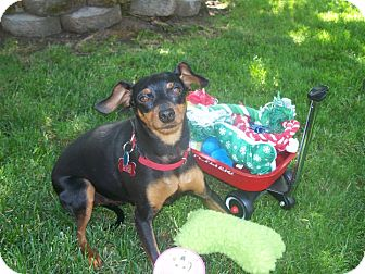 Miniature Pinscher/Terrier (Unknown Type, Small) Mix Dog for adoption in Sacramento, California - Mugsy