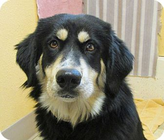 Alaskan Malamute/Black and Tan Coonhound Mix Puppy for adoption in Libby, Montana - Teddy Bear
