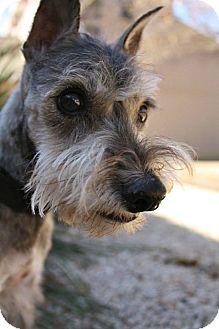 Schnauzer (Miniature) Mix Dog for adoption in Austin, Texas - Doyle