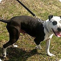Adopt A Pet :: Tony - Chicago, IL