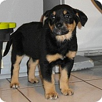 Adopt A Pet :: Puppies - 2 boys and 2 girls - Hamilton, ON