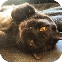 Manx Cat for adoption in Vancouver, British Columbia - Stitch