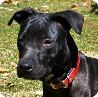 Labrador Retriever/Pit Bull Terrier Mix Dog for adoption in Redding, Connecticut - Bear
