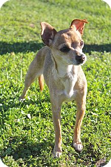 Chihuahua Dog for adoption in Winters, California - Canela