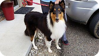 Collie Dog for adoption in Somers, Connecticut - Diesel