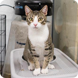 Domestic Shorthair Kitten for adoption in Montclair, California - Ty