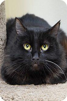 Domestic Mediumhair Cat for adoption in Dublin, California - Inky