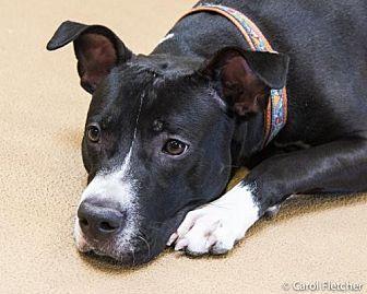 Labrador Retriever/Border Collie Mix Dog for adoption in Crete, Illinois - Max