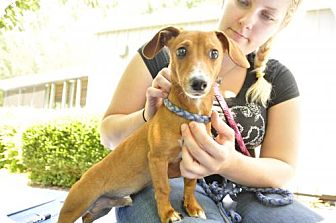 Dachshund Dog for adoption in Marble, North Carolina - Fritz