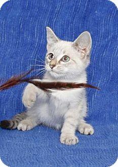 Siamese Kitten for adoption in Gloucester, Virginia - SI