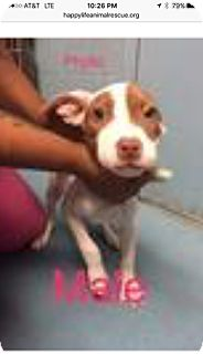 American Staffordshire Terrier Mix Puppy for adoption in Patterson, New York - Phyllo