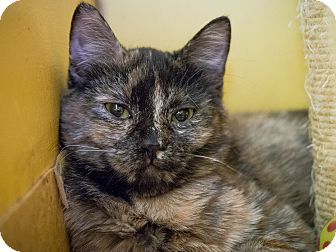 Domestic Mediumhair Kitten for adoption in Los Angeles, California - Giraffe