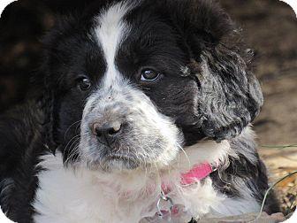 Great Pyrenees/Border Collie Mix Puppy for adoption in Kiowa, Oklahoma - Galaxy