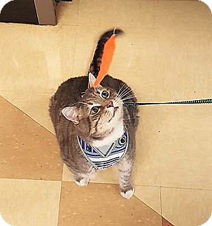 Domestic Shorthair Cat for adoption in Nottingham, Maryland - Tiny