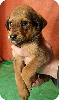 Australian Shepherd Mix Puppy for adoption in Normal, Illinois - Huxley