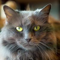 Adopt A Pet :: Addie - Santa Paula, CA