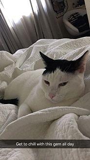 Domestic Shorthair Cat for adoption in Simi Valley, California - Jasper
