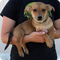 Belgian Malinois/Basset Hound Mix Puppy for adoption in Corona, California - GIZMO'S PUPS D