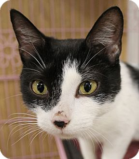 Domestic Shorthair Cat for adoption in North Branford, Connecticut - Haley