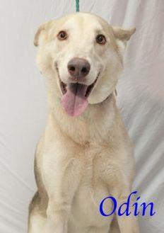 Mixed Breed (Large) Mix Dog for adoption in Bradenton, Florida - Odin