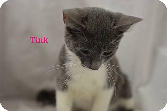 Domestic Shorthair Kitten for adoption in Miami Shores, Florida - Tink