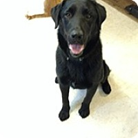 Labrador Retriever Mix Dog for adoption in Brattleboro, Vermont - Brady
