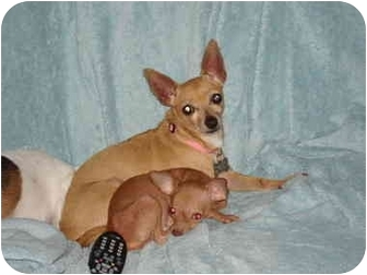 Chihuahua Mix Dog for adoption in Houston, Texas - Marley