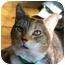 Photo 2 - Domestic Shorthair Cat for adoption in Aldie, Virginia - Hope