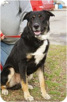 Bernese Mountain Dog/German Shepherd Dog Mix Dog for adoption in Warren, Michigan - Zeus