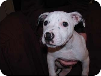 American Pit Bull Terrier Mix Puppy for adoption in Wapato, Washington - Daisy