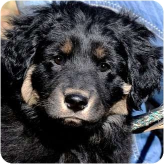 Golden Retriever/Labrador Retriever Mix Puppy for adoption in Wakefield, Rhode Island - CHADWICK(FLUFFY PUPPY!!!)