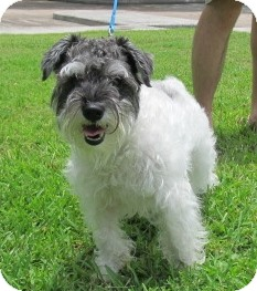 Schnauzer (Miniature) Dog for adoption in Kingwood, Texas - Curly