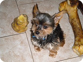 Yorkie, Yorkshire Terrier Dog for adoption in Orange County, California - Brownie