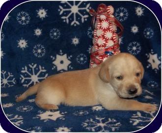 Labrador Retriever Mix Puppy for adoption in Larned, Kansas - Miss Spider