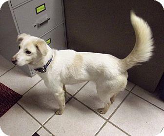 Beagle/Labrador Retriever Mix Dog for adoption in Morgantown, West Virginia - Ivy