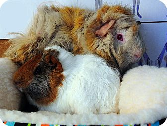 Guinea Pig for adoption in Fullerton, California - Moriko and Anzan