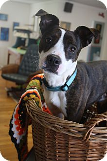 Boston Terrier/Jack Russell Terrier Mix Dog for adoption in Huntsville, Alabama - Rocky