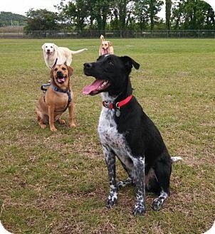 Australian Cattle Dog/Border Collie Mix Dog for adoption in Marietta, Georgia - Romeo