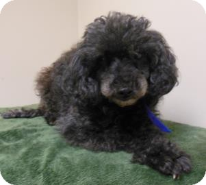 Poodle (Toy or Tea Cup) Mix Dog for adoption in Gary, Indiana - Nana