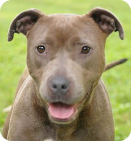 American Pit Bull Terrier Dog for adoption in Chicago, Illinois - Cookie
