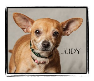 Chihuahua Dog for adoption in Warren, Pennsylvania - Judy