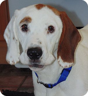 Beagle/Pointer Mix Dog for adoption in Wood Dale, Illinois - Scout- INDIANA