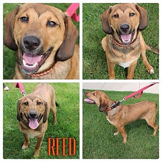 German Shepherd Dog/Collie Mix Dog for adoption in Garden City, Michigan - Reed