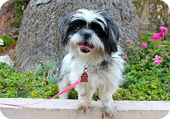 Shih Tzu Mix Dog for adoption in Los Angeles, California - Rosie Sue - 10lbs